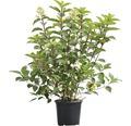 Rispenhortensie FloraSelf Hydrangea paniculata 'Wim´s Red' ®H 80-100 cm Co 10 L