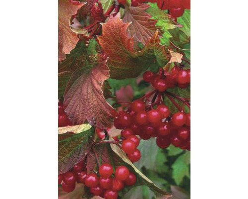 Schneeball FloraSelf Viburnum trilobum 'Bailey Compact'® H 100-125 cm Co 15 L
