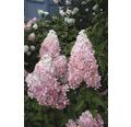 Rispenhortensie FloraSelf Hydrangea paniculata 'Pinky Winky' Halbstamm 125 cm H 150-175 cm Co 18 L