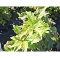 Schneeball FloraSelf Viburnum trilobum 'Wentworth' H 100-125 cm Co 15 L