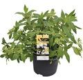Duft-Hortensie FloraSelf Hydrangea angustifolia 'Golden Crane' H 50-60 cm Co 10 L