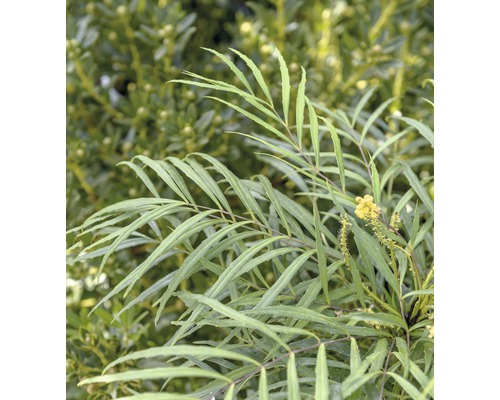 stachellose Mahonie FloraSelf Mahonia eurybracteata 'Soft Caress'® H 60-80 cm Co 10 L