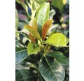 Kirschlorbeer FloraSelf Prunus laurocerasus 'Etna' H 30-40 cm Co 2,8 L