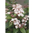 Mittelmeer - Schneeball FloraSelf Viburnum tinus 'Eve Price' H 30-40 cm Co 2,8 L