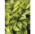 Aucube FloraSelf Aucuba japonica 'Crotonifolia' H 40-50 cm Co 4,5 L