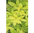 Mexikanische Orangenblume FloraSelf Choysia ternata 'Sundance' H 30-40 cm Co 4,5 L