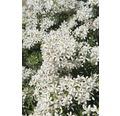 Orangenblume FloraSelf Choysia ternata 'White Dazzler' H 30-40 cm Co 4,5 L