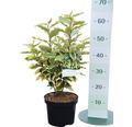Ölweide FloraSelf Elaeagnus pungens 'Viveleg' H 30-40 cm Co 4,5 L