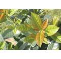 Kirschlorbeer FloraSelf Prunus laurocerasus 'Kleopatra' H 40-50 cm Co 6 L