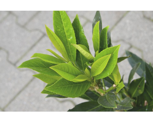 Kirschlorbeer FloraSelf Prunus laurocerasus 'Renault Ace' H 60-80 cm Co 6 L