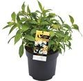 Duft-Hortensie FloraSelf Hydrangea angustifolia 'Golden Crane' H 40-50 cm Co 6 L