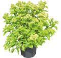 Rispenhortensie FloraSelf Hydrangea paniculata 'Little Lime' H 50-60 cm Co 6 L