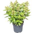 Rispenhortensie FloraSelf Hydrangea paniculata 'Magical Vesuvio' H 50-60 cm Co 6 L