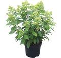 Rispenhortensie FloraSelf Hydrangea paniculata 'Kilimanjaro' H 50-60 cm Co 6 L