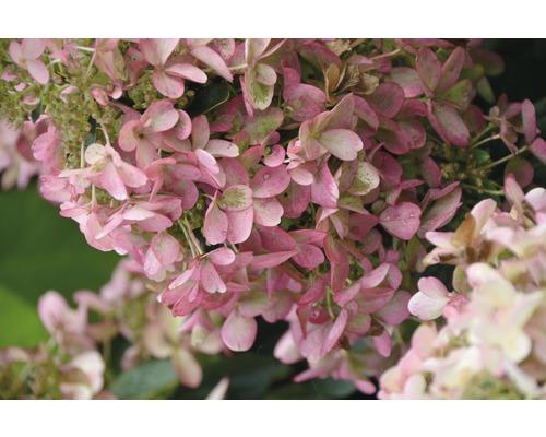 Rispenhortensie FloraSelf Hydrangea paniculata 'Wim's Red' H 50-60 cm Co 6 L