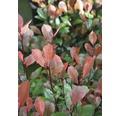 Zwerg-Glanzmispel FloraSelf Photinia fraseri 'Little Red Robin' H 40-50 cm Co 10 L