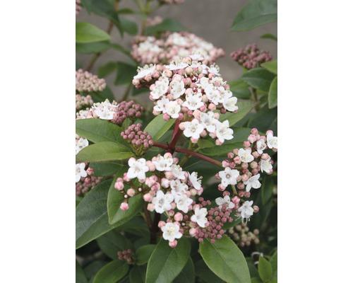 Mittelmeer-Schneeball Kugel FloraSelf Viburnum tinus 'Eve Price' H 30-40 cm Co 6 L