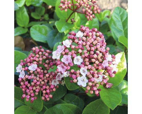 Mittelmeer-Schneeball Kugel FloraSelf Viburnum tinus 'Lisarose' H 30-40 cm Co 6 L