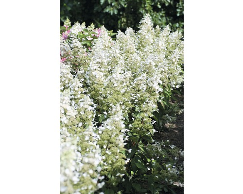 Rispenhortensie FloraSelf Hydrangea paniculata 'Magical Himalaya' H 100-125 cm Co 18 L