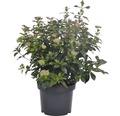 Mittelmeer-Schneeball Kugel FloraSelf Viburnum tinus H 30-40 cm Co 6 L
