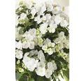 Girlanden-Hortensie FloraSelf Hydrangea Runaway Bride ® 'Snow White' H 50-60 cm Co 6 L