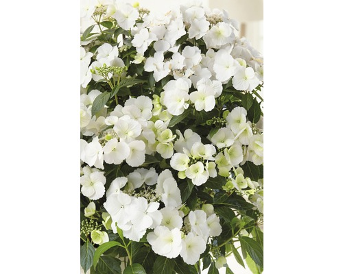 Girlanden-Hortensie FloraSelf Hydrangea Runaway Bride ® 'Snow White' H 20-25 cm Co 2 L
