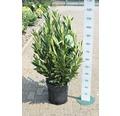 Kirschlorbeer FloraSelf Prunus laurocerasus 'Renault Ace' H 80-100 cm Co 18 L