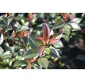 Glanzmispel FloraSelf Photinia fraseri 'Carre Rouge' H 100-125 cm Co 15 L