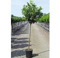 Kirschlorbeer FloraSelf Prunus laurocerasus 'Etna' Halbstamm 125 cm H 150-175 cm Co 18 L