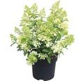 Rispenhortensie FloraSelf Hydrangea paniculata 'Magical Matterhorn' H 50-60 cm Co 6 L