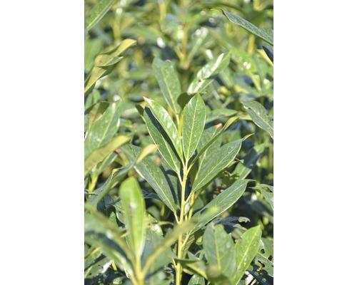 Kirschlorbeer FloraSelf Prunus laurocerasus 'Elly' H 80-100 cm Co 18 L