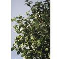 Bergilex FloraSelf Ilex crenata 'Rotundifolia' H 25-30 cm Co 4,5 L