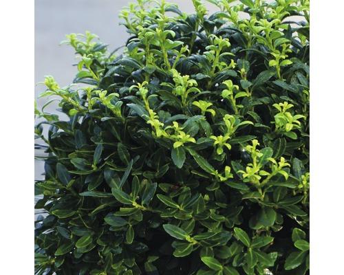 Bergilex Kugel FloraSelf Ilex crenata 'Soft Touch' H 25-30 cm Co 4,5 L