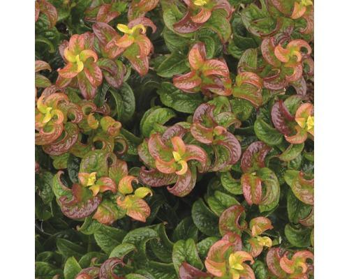 Traubenmyrthe FloraSelf Leucothoe axillaris 'Twisting Red' H 30-40 cm Co 6 L
