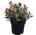 Glanzmispel FloraSelf Photinia fraseri 'Chico' H 30-40 cm Co 2,8 L