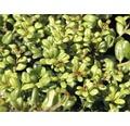 Bergilex Kugel FloraSelf Ilex crenata 'Convexa' H 40-45 cm Co 15 L