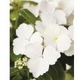 Girlanden-Hortensie FloraSelf Hydrangea Runaway Bride ® 'Snow White' H 40-50 cm Co 3,5 L