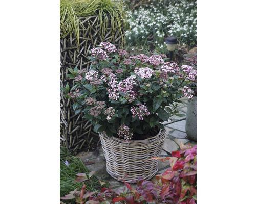 Mittelmeer - Schneeball FloraSelf Viburnum tinus 'Spirit' H 40-50 cm Co 6 L