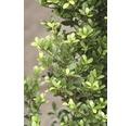 Bergilex Kugel FloraSelf Ilex crenata 'Stokes' H 40-45 cm Co 15 L