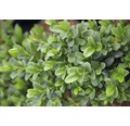 Buchsbaum Kugel FloraSelf Buxus sempervirens 'Woodburn Select' H 40-60 cm Co 6 L