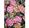 Bauernhortensie FloraSelf Hydrangea macrophylla 'Red Angel' H 30-40 cm Co 6,5 L
