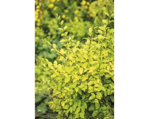 Liguster FloraSelf Ligustrum ovalifolium 'Lemon and Lime' H 50-60 cm Co 4,5 L