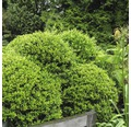 Bergilex Kugel FloraSelf Ilex crenata 'Stokes' H 25-30 cm Co 4,5 L