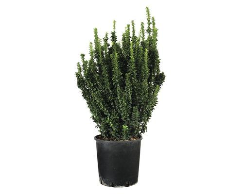 Säulen-Spindelstrauch FloraSelf Euonymus japonicus 'Benkomasaki' H 80-90 cm Co 18 L buschig