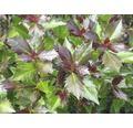 Stechpalme FloraSelf Ilex meserveae 'Heckenblau' H 40-60 cm Co 6 L