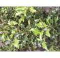 Stechpalme Kugel FloraSelf Ilex meserveae 'Blue Holly' H 40-60 cm Co 6 L