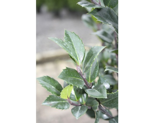 Stechpalme FloraSelf Ilex meserveae 'Heckenstar' H 40-60 cm Co 6 L