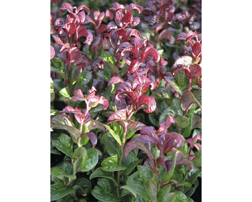 Traubenmyrthe Kugel FloraSelf Leucothoe axillaris 'Curly Red' H 30-40 cm Co 6 L