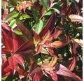 Traubenmyrthe Kugel FloraSelf Leucothoe axillaris 'Carinella' H 30-40 cm Co 6 L