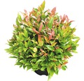 Traubenmyrthe Kugel FloraSelf Leucothoe axillaris 'Red Lips' H 30-40 cm Co 6 L
